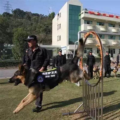 深宝华—警犬护卫服务