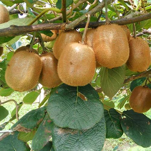 景程猕猴桃-专业猕猴桃种植及销售