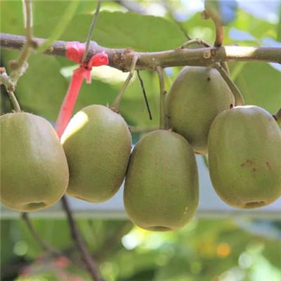 景程猕猴桃-东红猕猴桃